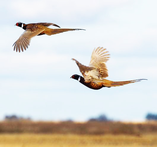 male and female pheasants in flight